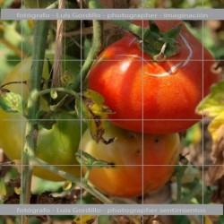Tomatera rojo
