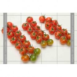 Tomates cheri-2