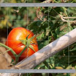 Tomate Rojo en tomatera