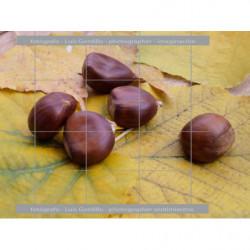 Castañas hojas amarillas