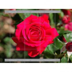Rosa roja frontal