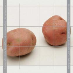 Patata red pontiac