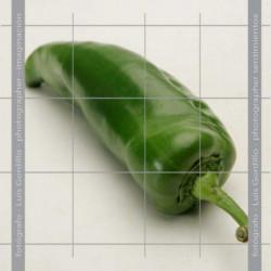 Pimiento verde solo
