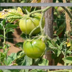 Tomatera verde