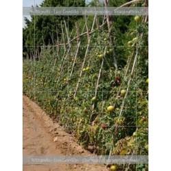 Huerto tomate verdes