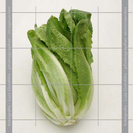 Lechuga larga vertical